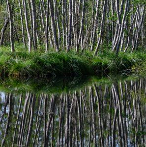 Silver Birches in the Marais, Grolejac
